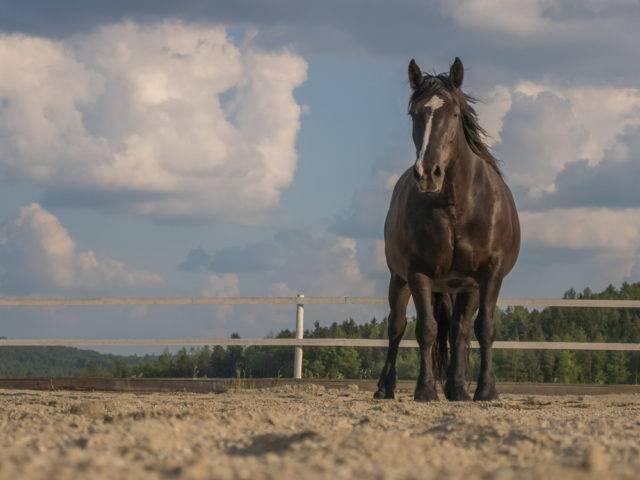 rasa konia noriker