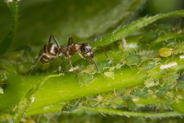 mszyce i mrówka
