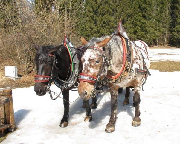 konie noriker