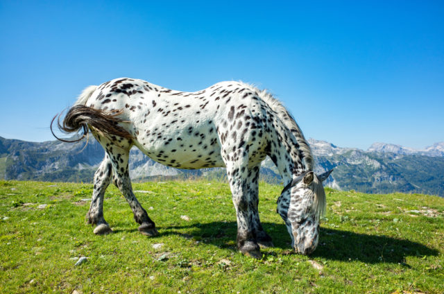 koń noriker