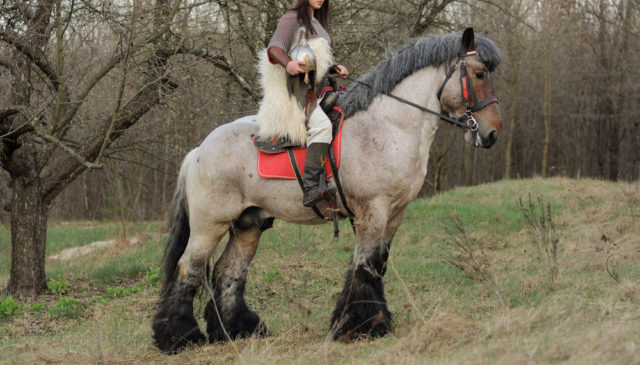 rasa koni koń belgijski