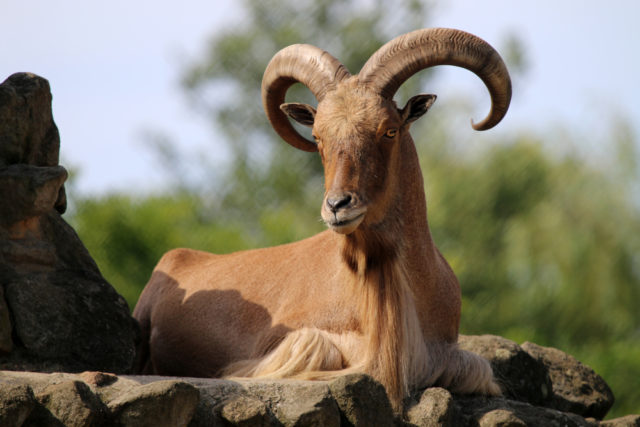owca grzywiasta arui