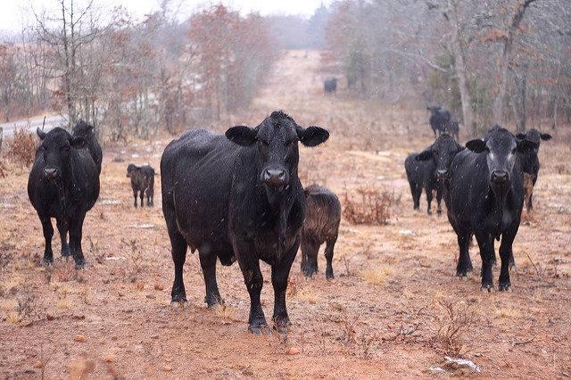lista ras bydła hodowlanego bydło Angus