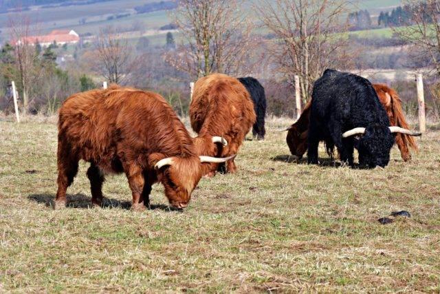 bydło szkockie na pastwisku