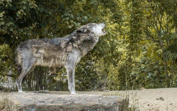 Dlaczego wilkiwyją?