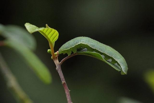 gąsienica cytrynka motyla