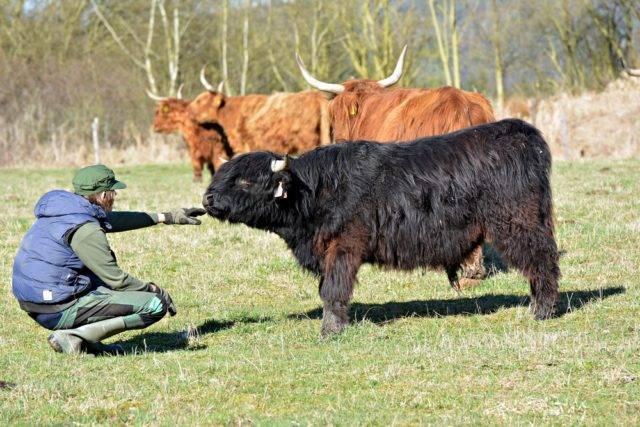 jakie są dopłaty do hodowli bydła szkockiego