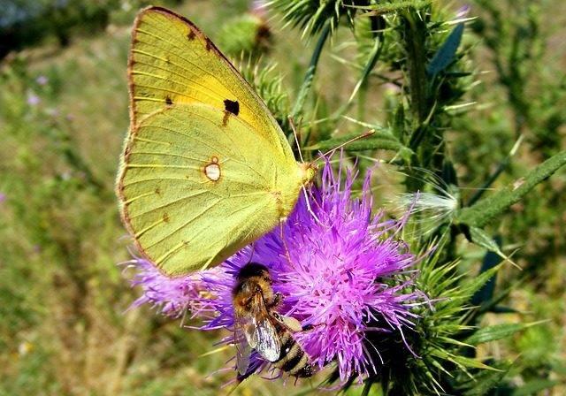 motyl Latolistek cytryniec