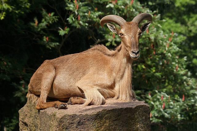 owca arui grzywiasta