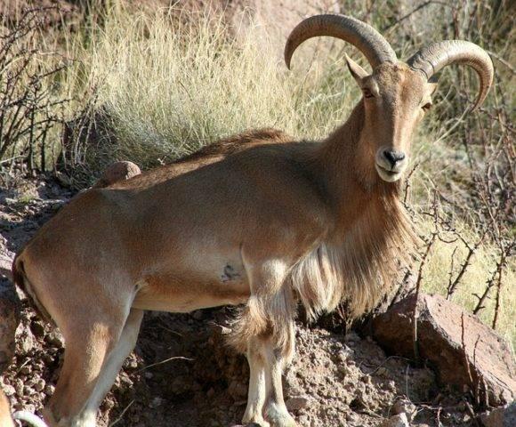 afrykańska owca grzywiasta