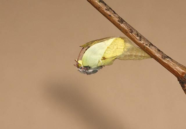 przeobrażanie się motyla Latolistek cytryniec