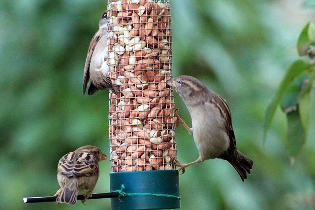 ptaki polskie wróble