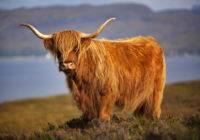 Bydło szkockie