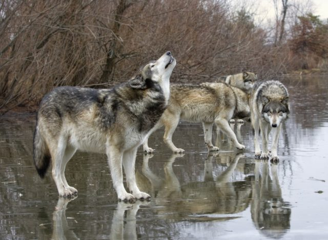 dlaczego wilki wyją w stadzie