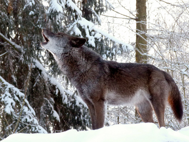 kiedy wilki wyją