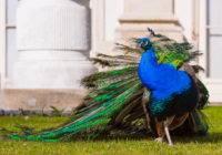 Paw (Pavo) duży kolorowy ptak ozdobny