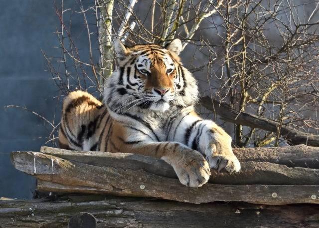 jak wygląda tygrys syberyjski