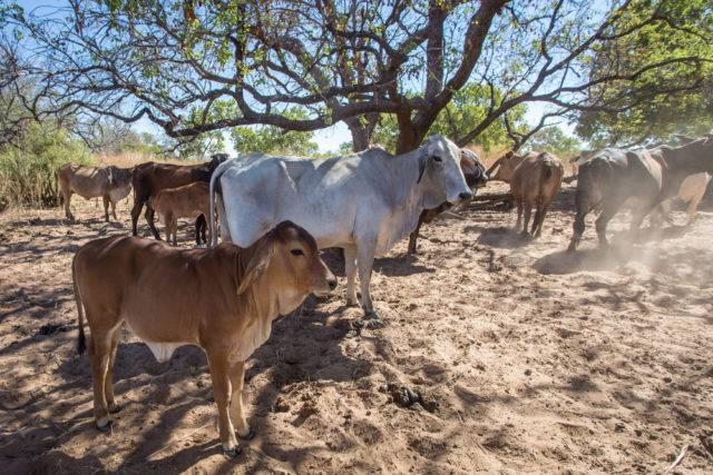 stado krów brahman
