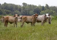 Krowy Brahman