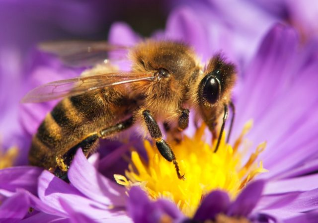 pszczoła miodna na kwiatku