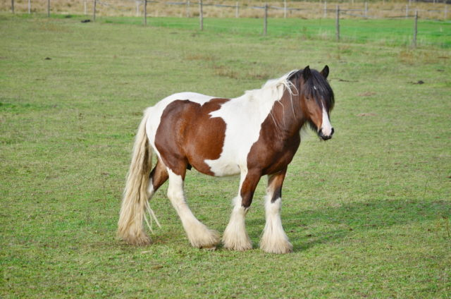 rasa koni cob irlandzki