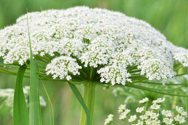 najbardziej trujące rośliny w poslce szalej jadowity