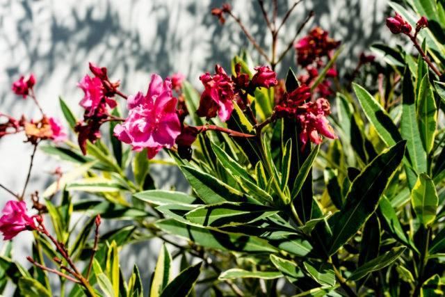 trująca roślina doniczkowa oleander