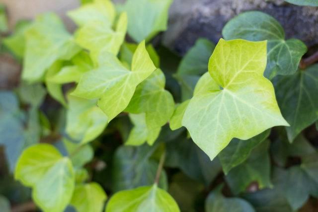 trujące rośliny doniczkowe bluszcz