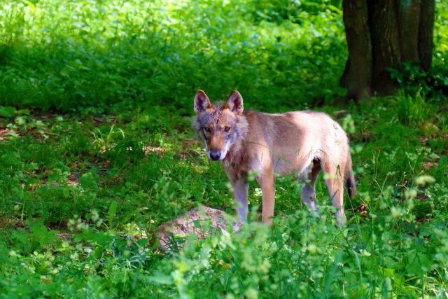 zwierzęta puszczy białowieskiej wilk szary