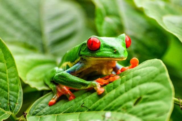 żaba Rzekotka czerwonooka na liściu