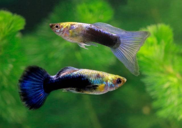 małe ryby akwariowe gupiki pawie oczko