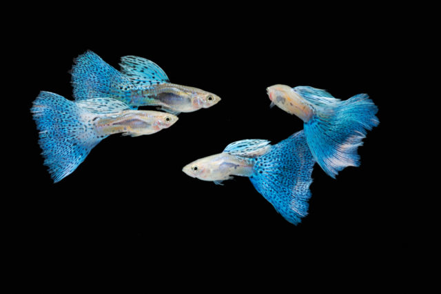 pawie oczko ryby