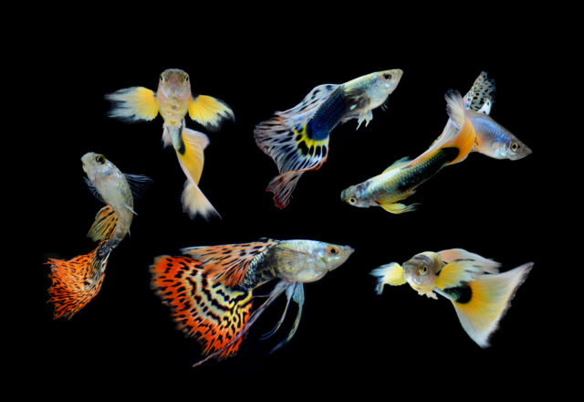 ryby gupik pawie oczko