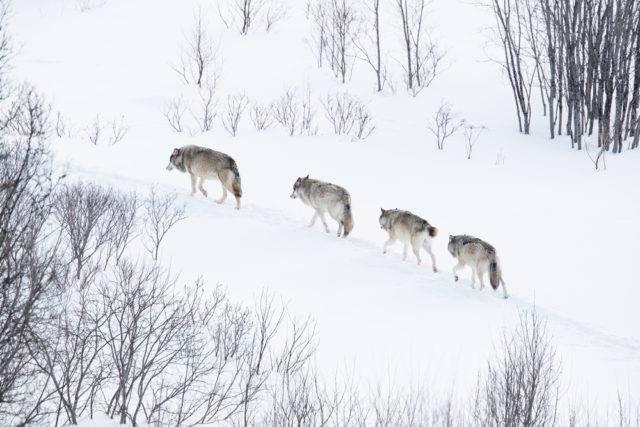 wataha ruszająca na polowanie