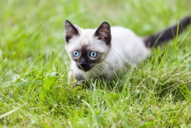 młody kot syjamski
