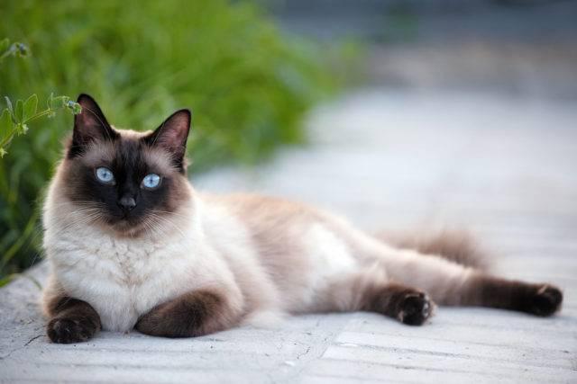 Kot Syjamski Co Warto Wiedzieć Na Temat Tych Kotów
