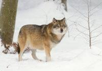Wilk szary (Canis lupus)