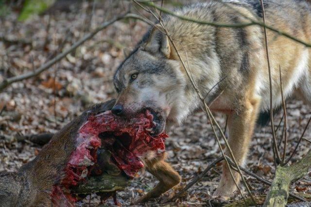 wilk szary jedzący łanię