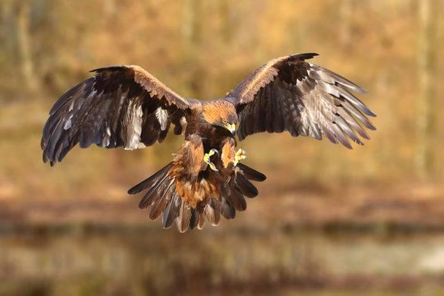 polowanie z orłem przednim