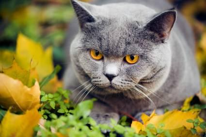rasa kot brytyjski