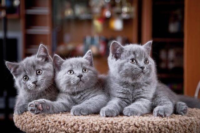 młode koty brytyjskie