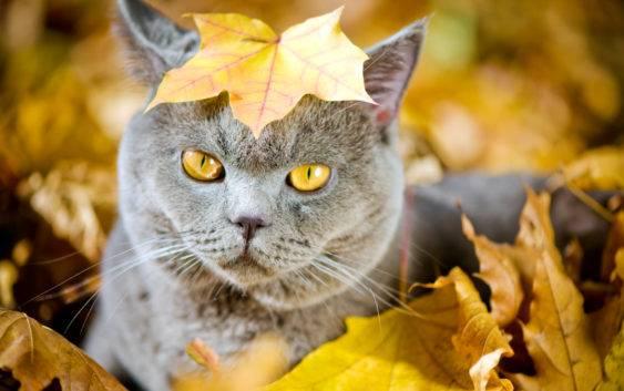 Kot brytyjski co warto wiedzieć o tych kotach?