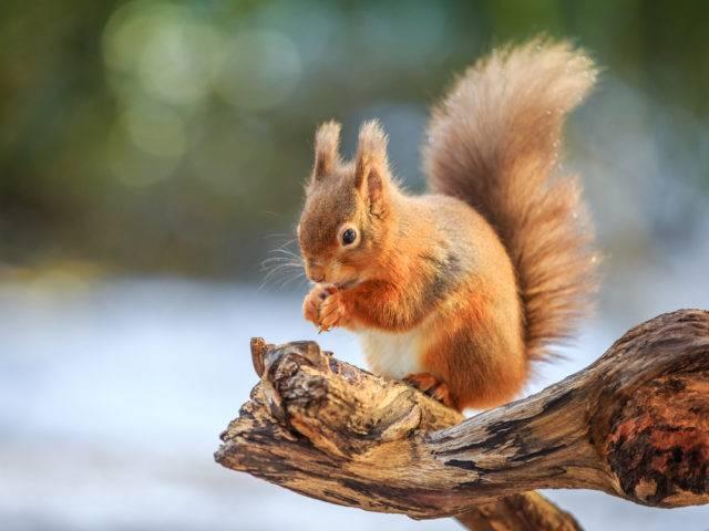 wiewiórka pospolita zwaną rudą