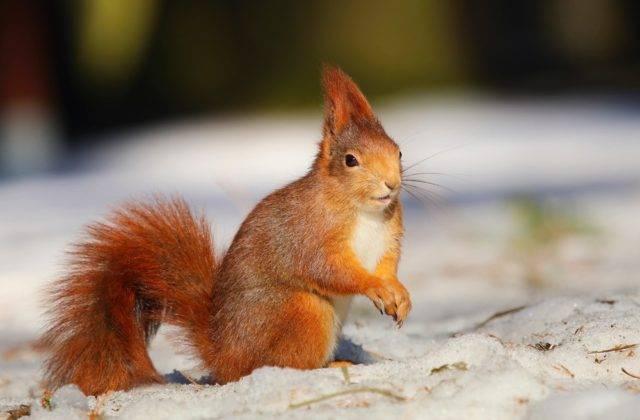 wiewiórka pospolita zimą