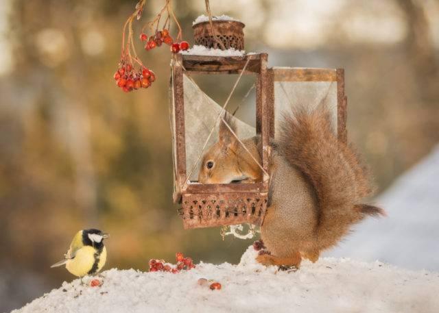 wiewiórka pospolita podjadajaca z karmnika