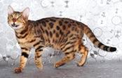 Kot bengalski – co warto wiedzieć?