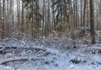 Ochrona Puszczy Białowieskiej