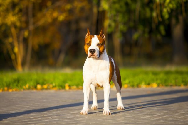 rasy psów obronnych American Staffordshire Terrier