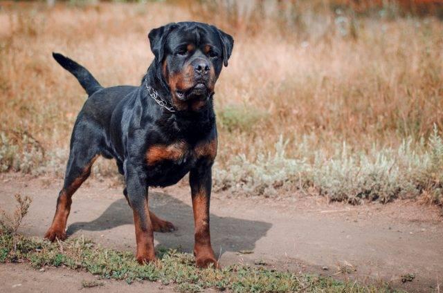 rasy psów obronnych rottweiler