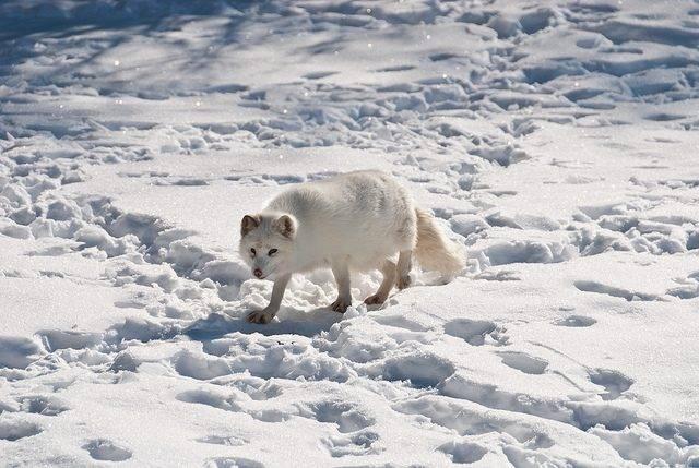 lis polarny zimą
